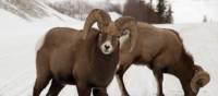 Bighorn sheep   Tourism Jasper