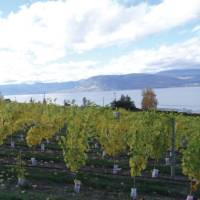 Naramata vineyard along the KVR trail, Okanagan   Annika Rautiola