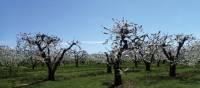 Fruit trees along the Niagara Peninsula   Nathalie Gauthier