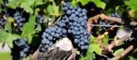 Vineyards line your route through the Niagara region