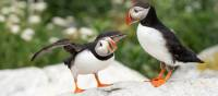 The Bay of Fundy is home to one of the most accessible puffin colonies in the world | New Brunswick Tourism • Tourisme Nouveau-Brunswick
