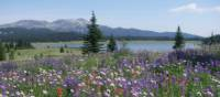 Colourful alpine blooms near Flight Lake, BC