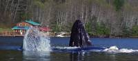 Playful whales visiting the lodge | Tom Rivest