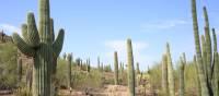 Saguaro and other cacti of Arizona | ©VisittheUSA.com