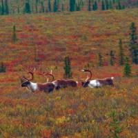 Native Caribou enjoying the sunshine | Jake Hutchins