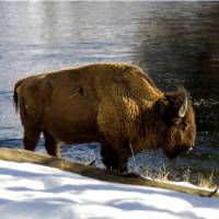 A Bison enjoys a drink by the river in Yellowstone National Park