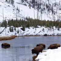 Herd of Bison spotted along the river in Yellowstone National Park