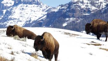 Yellowstone is home to large numbers of Bison